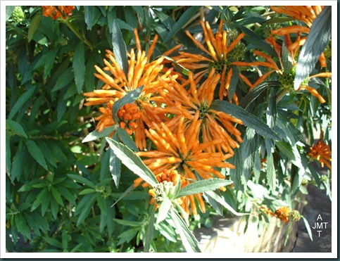 DSC05311W1-leonotis-leonorus (queue de lion) F lamiaceae BW