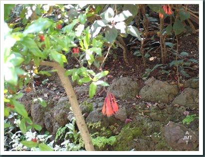 DSC05275W1-fuschia-boliviana (fuschia géant) F onagraceae BW