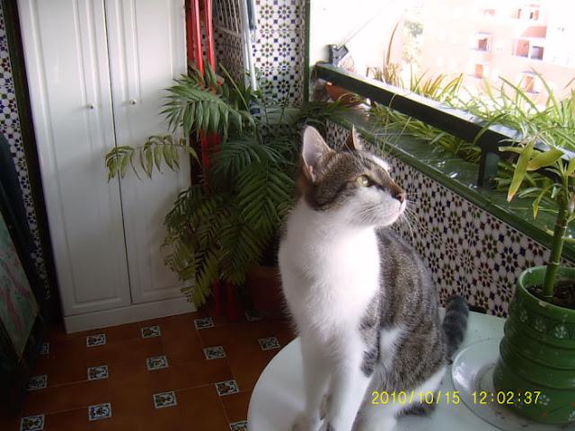 ITO, gato cariñosisimo en adopción. Sevilla Ito03