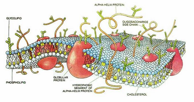 CellMembrane.jpg