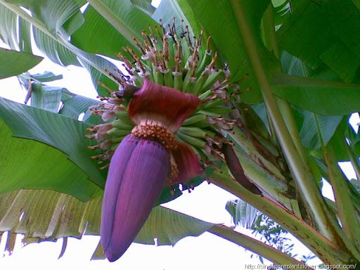 lotus banana