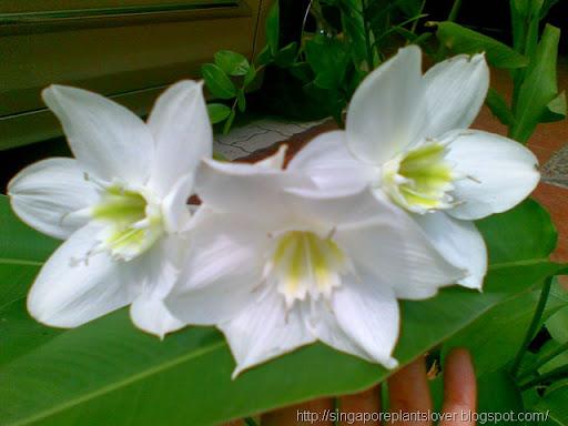 amazon-lily