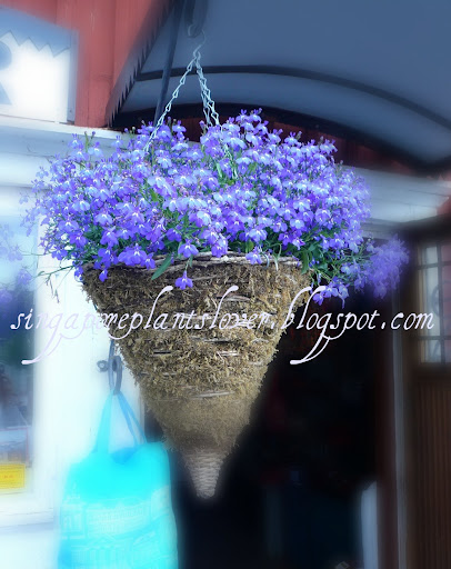 Hanging Blue flowers basket