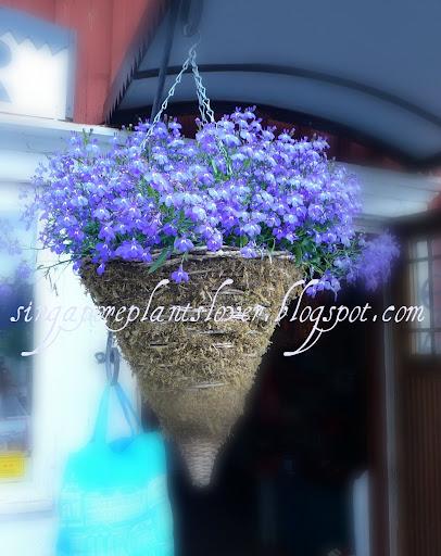Hanging Blue flowers basket