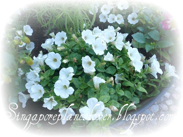 Petunia Flowers White