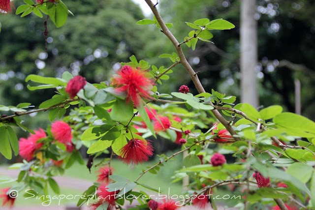 red powderpuff flowers