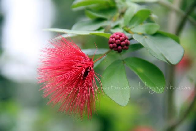 red powderpuff flower buds