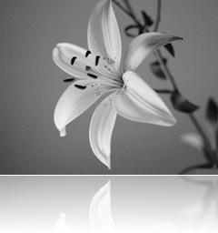 lily-bw