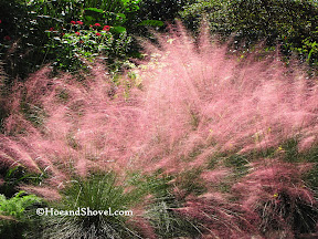 Purple Muhly Grass