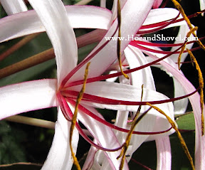 Queen Emma Crinum