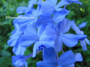 Blue Plumbago