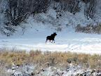 Moose in First Water Canyon