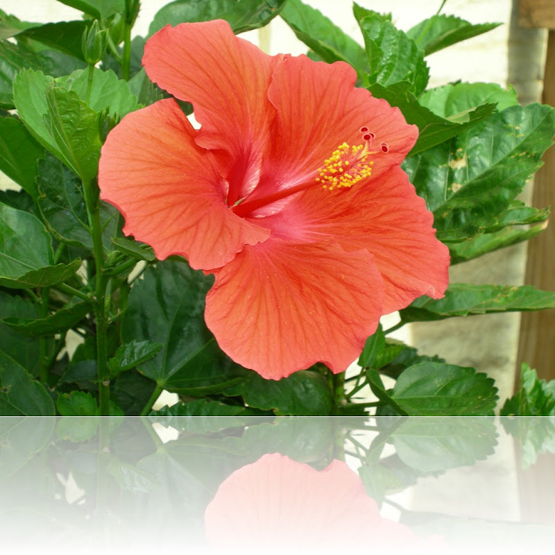 Hibiscus 005