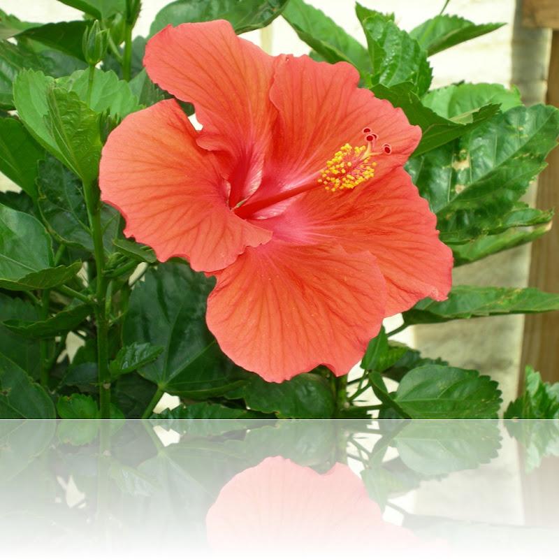 Hibiscus 005