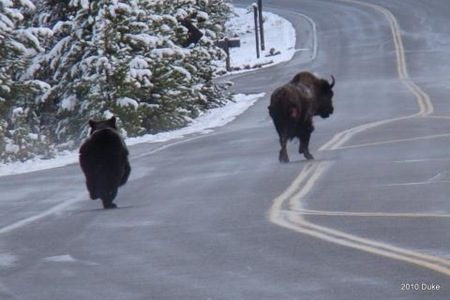 Bear Chasing Bison Down the Road