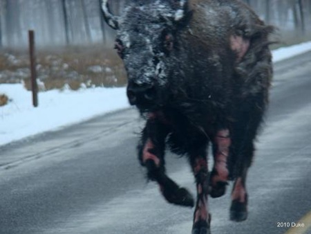 Bear Chasing Bison Down the Road 04