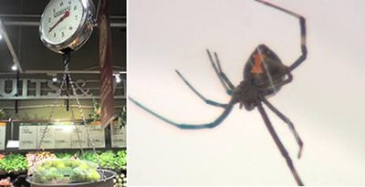 Black Widow spider found in bag of Grapes 01