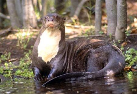 Giant Otter 01