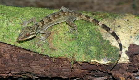 Langkawi bent-toed gecko (Cyrtodactylus macrotuberculatus) 01