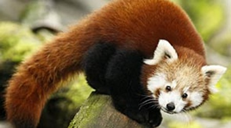 Red Panda Fossils Found in Tennessee