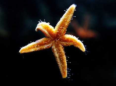 gal_super_starfish