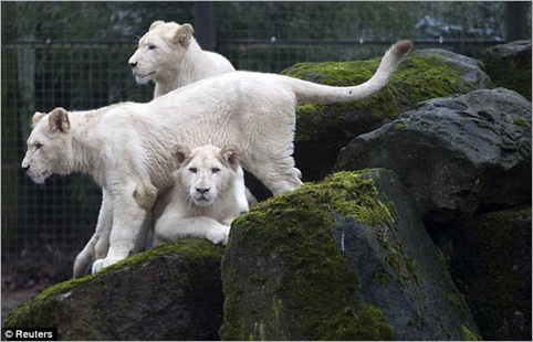 white lion 06