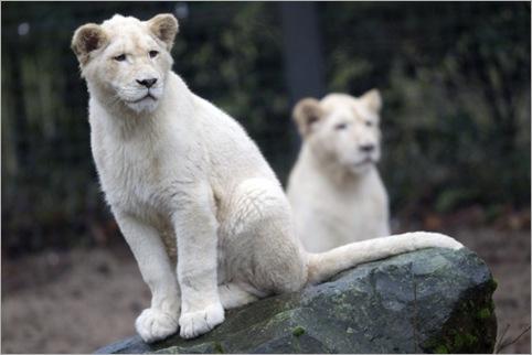 white lion 09