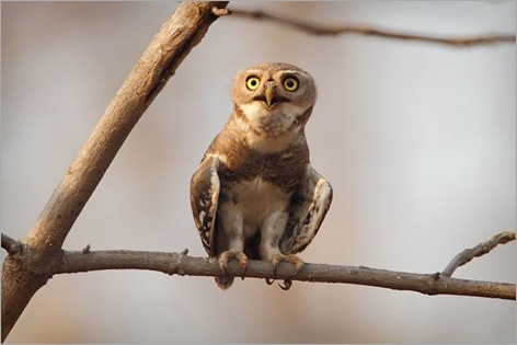 rare-birds-photo-contest-forest-owlet