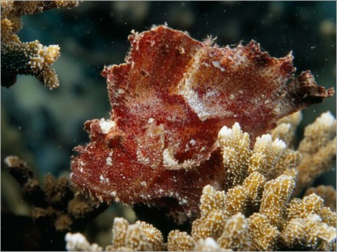 leaf-scorpionfish