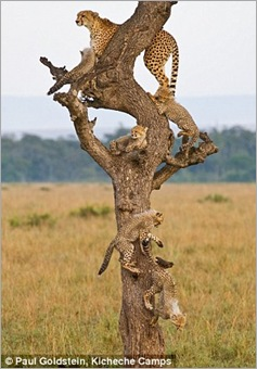 cheetah cubs 02