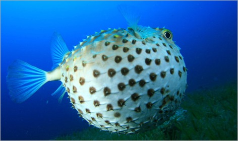 09-Pufferfish