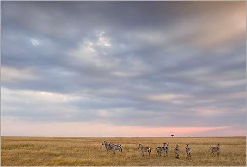 Zebras-standing-on-Masai-Mara-grassland-with-pastal-coloured-twilight-sky-Kenya