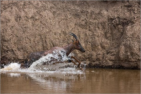 Topi-crossing-Mara-River-beside-steep-bank-Masai-Mara-Kenya 01