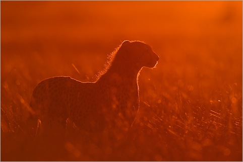 Cheetah-backlit-at-sunrise-Masai-Mara-Kenya 01