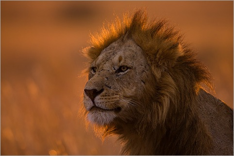 Male-Lion-portrait-backlit-at-sunrise-Masai-Mara-Kenya 01