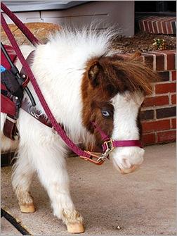 miniature_horse 01
