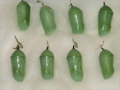 Crazy Chrysalises
