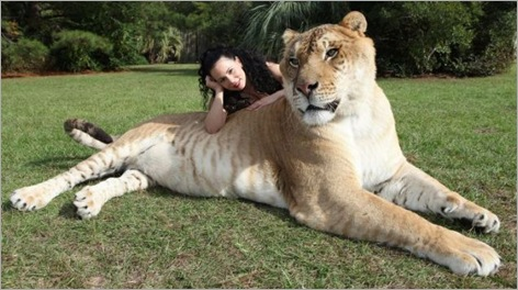 Hercules the ... liger why the bigg paws