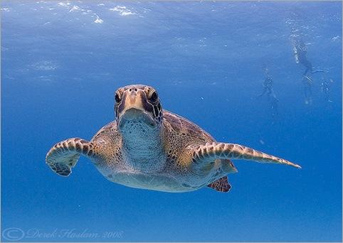 Green Turtle. Chelonia mydas