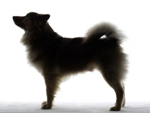 Icelandic Sheepdog 01