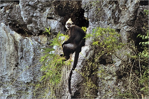 Golden-Headed Langur