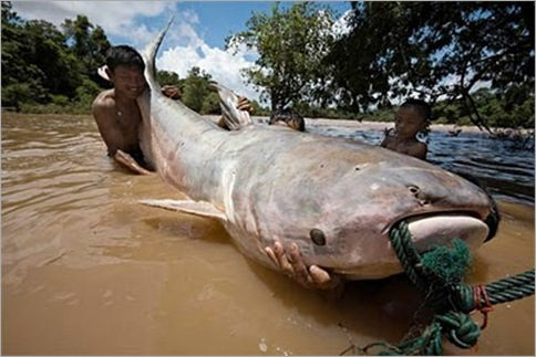 giant-mekong-fish-dog-eating-catfish 01
