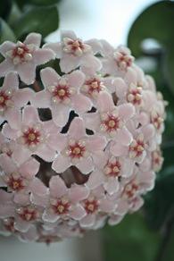 Porselenblomst 012
