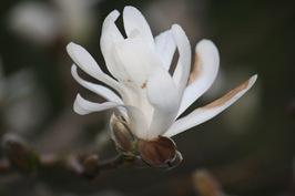 Magnolia 002