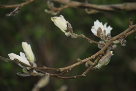 Magnolia 031