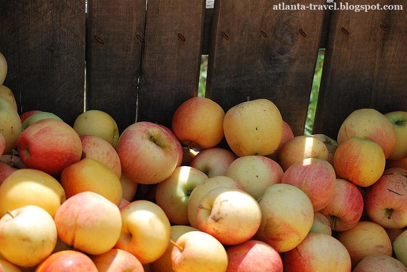 Яблочный сад в Джорджии. Apple orchard.
