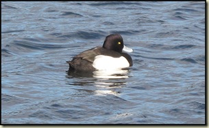 blog-08111003tuftedduck