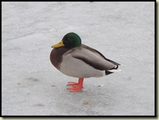 Mallard on ice