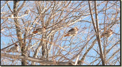 Waxwings beside Fortune Parkway
