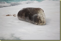 Leopard Seal and Poo